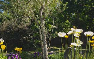 Olive Tree with Poppies and Pansies in Rachel's Garden