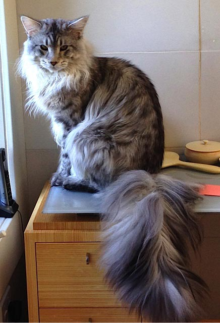 Maxx the cat sitting on the office desk