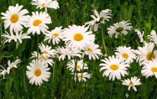 Daisies, pushing up daisies